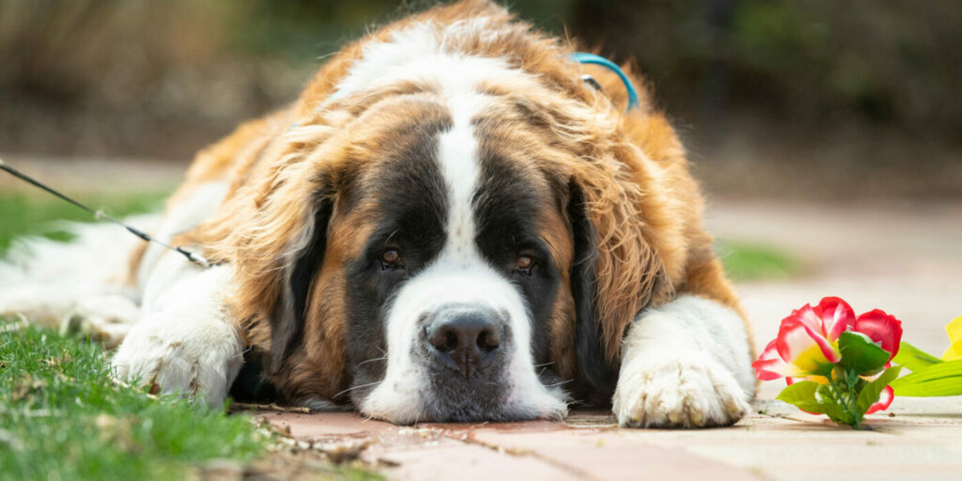 A tangled web: Teasing out the impacts of CBD on canine seizures
