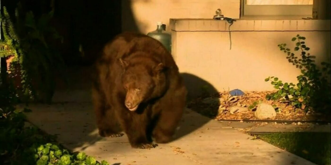 Bear that walked through CA community is back in forest where he belongs