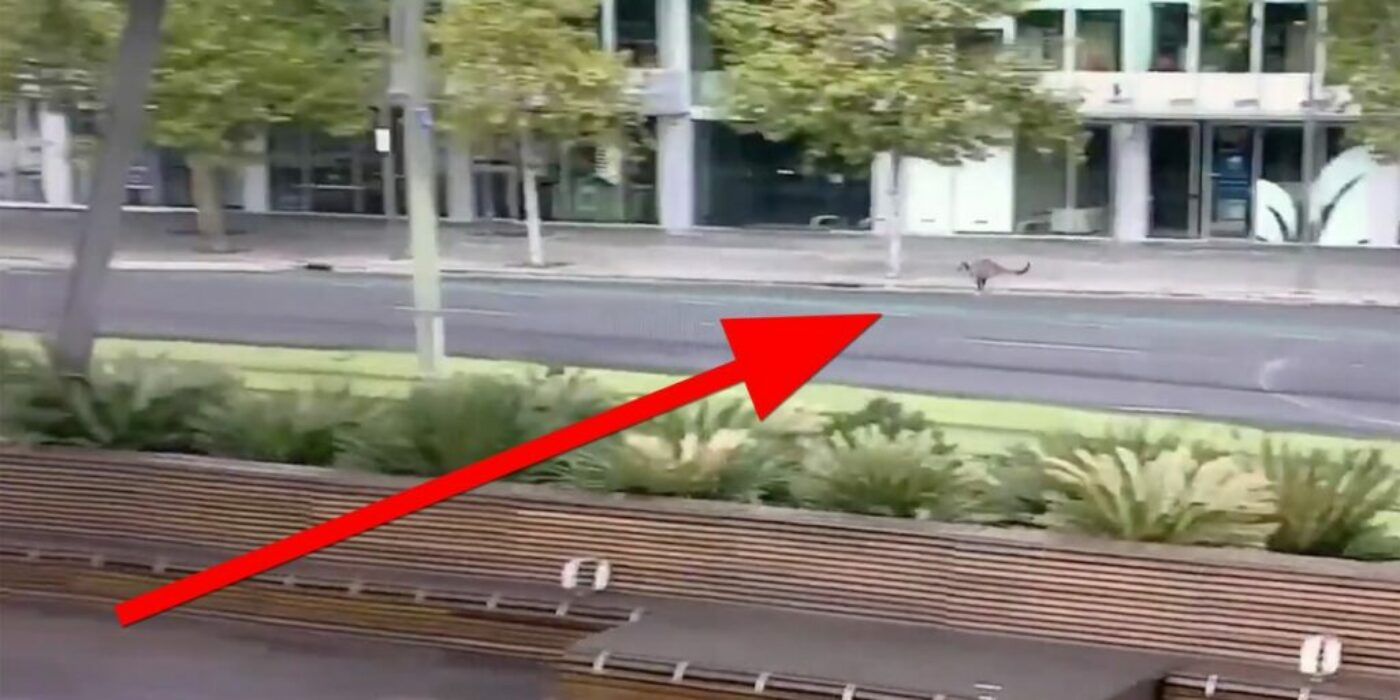 See this kangaroo bounce through a deserted Australian city