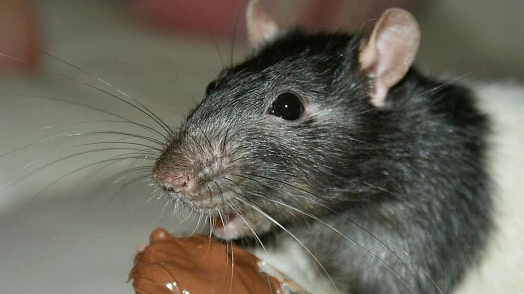 Hungry, Cannibalistic Rats Are Taking Over Australia's Shuttered Cities
